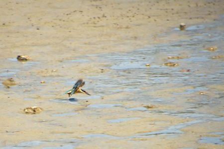 Kingfisher on the hunt